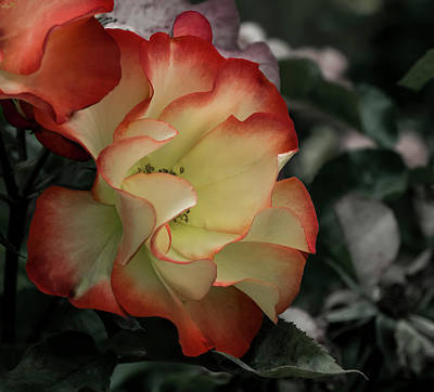 Photograph - Mysterious Rose by Jean Noren