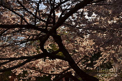 Photograph - Mystery Of The Tree - Central Park In Spring by Miriam Danar