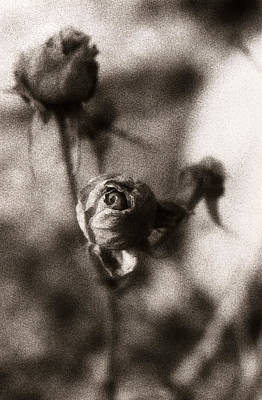Roses Photograph - Mystic Rose by Marilyn Hunt