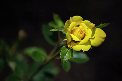 Photograph - Mystic Yellow Rose by Christina Rollo