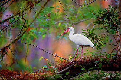 Photograph - Mystical White Ibis by David A Lane