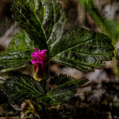 Photograph - Nagoonberry Bud by Fred Denner