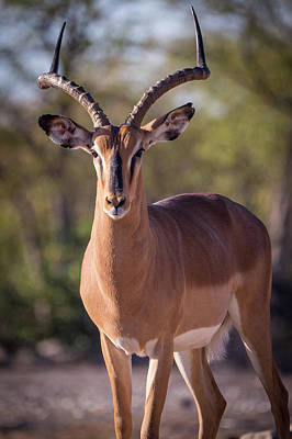 Photograph - Namibian Impala by Randy Green