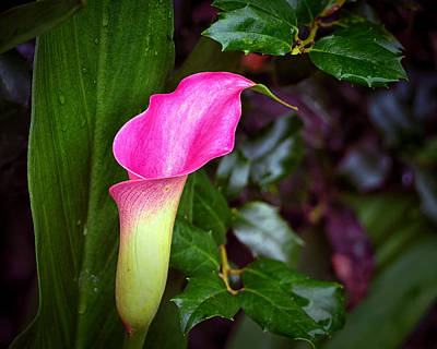 Photograph - Nancy's Calla Lily With Holly by Bill Swartwout