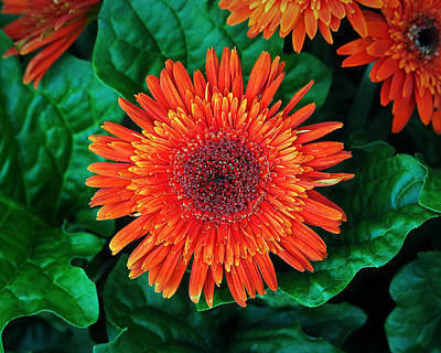 Photograph - Nancy's Gerbera Daisy Orange On Green by Bill Swartwout