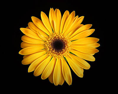 Photograph - Nancy's Gerbera Daisy Yellow On Black by Bill Swartwout