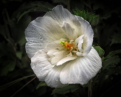 Photograph - Nancy's Hardy Hibiscus by Bill Swartwout