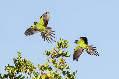 Photograph - Nanday Parakeets by Phil Stone