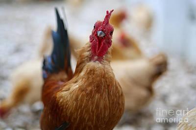 Photograph - Nankin Bantam Rooster by Lara Morrison