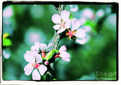 Photograph - Nanking Blossom by Donna L Munro