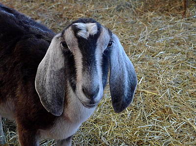 Photograph - Nanny Goat by Richard Reeve
