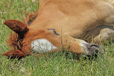 Photograph - Nap Time For Foal  by Jennie Marie Schell