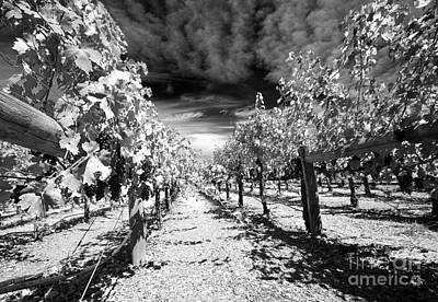 Napa Rows In Bw Art Print