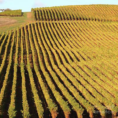 Photograph - Napa Valley Vineyard 7d9062 Square by San Francisco