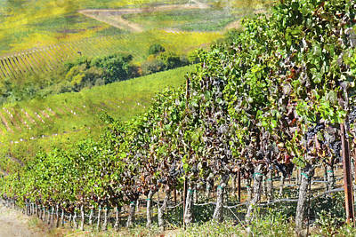 Photograph - Napa Valley Vineyard In California by Brandon Bourdages
