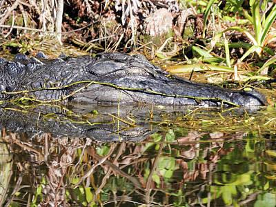 Comedian Drawings - Napping American Alligator Florida Wetlands by Jill Nightingale