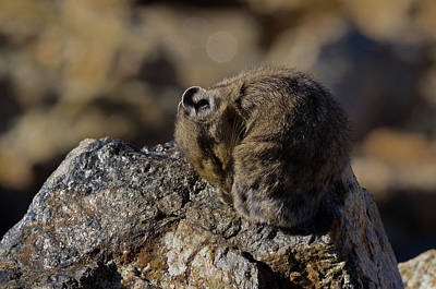 Photograph - Napping American Pika - 4694 by Jerry Owens