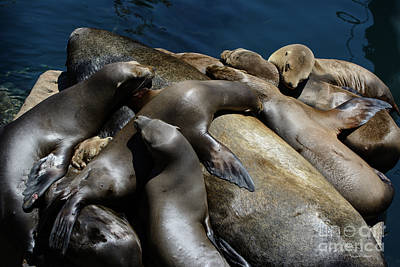 Photograph - Napping Atop A Massive Sea Lion by Susan Wiedmann