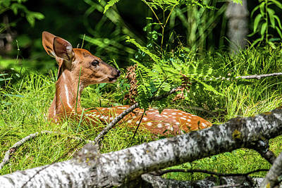 Twin Tailed Photograph - Napping Fawn by Paul Freidlund
