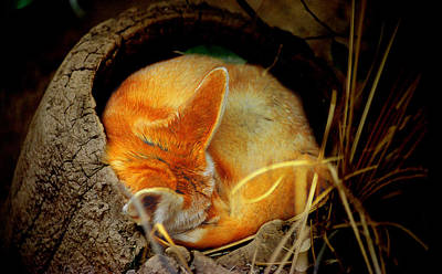 Photograph - Napping Fennec Fox by Greg Slocum