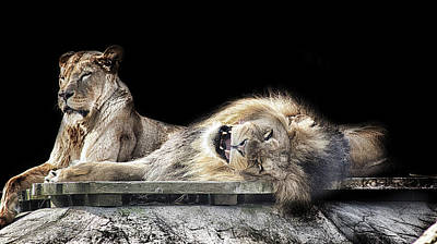 Leo Photograph - Napping by Martin Newman