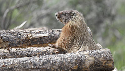 Photograph - Napping Mountain Marmot by Dan Sproul