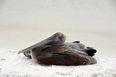 Photograph - Napping Pelican by Carla Parris