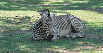 Photograph - Napping Zebra by Nicki Bennett