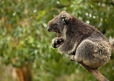 Marsupial Photograph - Naptime by Mike  Dawson