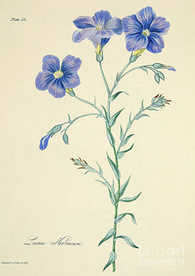 Botanical Drawing - Narbonne Blue Flax by Margaret Roscoe