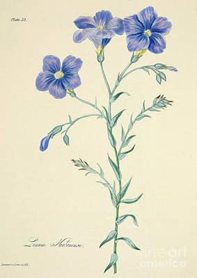 Narbonne Blue Flax Art Print