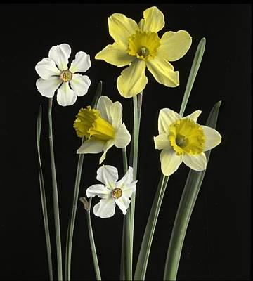 Daffodils Painting - Narcissi Of Several Kinds by MotionAge Designs