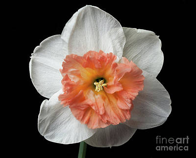 Photograph - Narcissus by Ann Jacobson