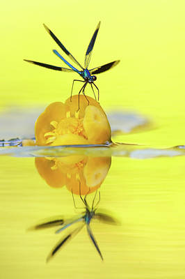 Narcissus - Damselfly Reflected In The River Art Print by Roeselien Raimond