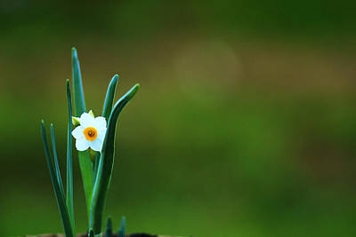 Photograph - Narcissus Flower Isolated On Grass Backround by Yana Shonbina