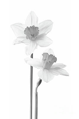 Photograph - Narcissus Flowers by Olga Hamilton