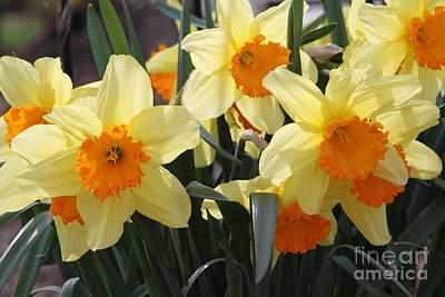 Daffodil Photograph - Narcissus Fortissimo by Judy Whitton