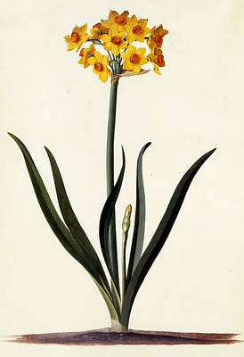 Spring Bulbs Drawing - Narcissus by Georg Dionysius Ehret