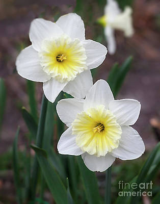Photograph - Narcissus 'ice Follies' by Ann Jacobson