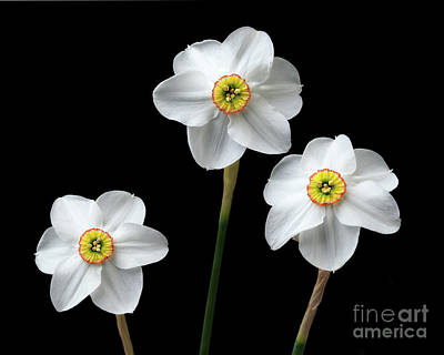 Photograph - Narcissus 'poeticus' by Ann Jacobson