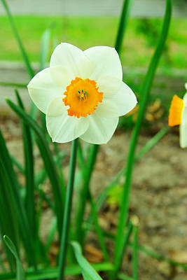 Photograph - Narcissus Pseudonarcissus by Jeff Swan