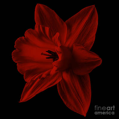 Photograph - Narcissus Red Flower Square by Edward Fielding