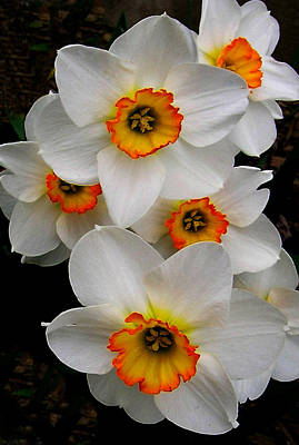 Art Print featuring the photograph Narcissus Tazetta by Kathleen Stephens