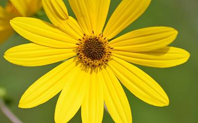 Photograph - Narrow Leafed Sunflower Bloom by Warren Thompson
