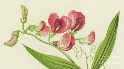 Bouquet Drawing - Narrow Leaved Everlasting Pea by English School