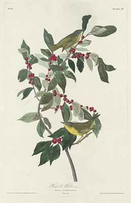 Wings Drawing - Nashville Warbler by Dreyer Wildlife Print Collections