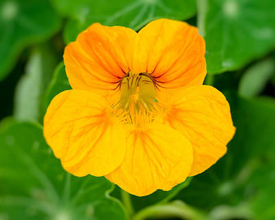 Photograph - Nasturtium Finds Gold by John Brink