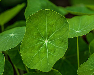 Photograph - Nasturtium Leaves by Keith Smith