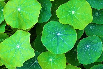 Photograph - Nasturtium Leaves by Polly Castor