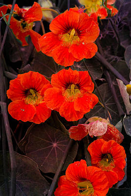 Photograph - Nasturtium On Fire by John Brink